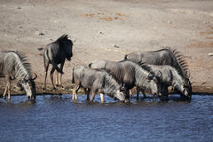Wildebeest drinking Royalty Free Stock Photos