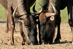 Wildebeest drinking Stock Photography