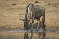 Wildebeest Drinking Royalty Free Stock Photography