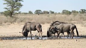 Wildebeest drinking stock video footage