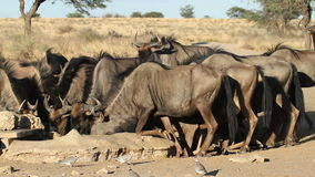 Wildebeest drinking stock video