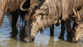 Wildebeest drinking stock footage