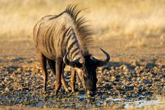 Wildebeest drinking, Kalahari, South Africa Stock Photography