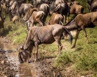 wildebeest drinking Stock Photo
