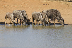 Wildebeest Drinking, South Africa. A herd of Blue Wildebeest (Connochaetes taurinus) drinking water from a natural pan in South Africa's Kruger Park Royalty Free Stock Photography