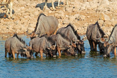 Wildebeest drinking water Stock Photo