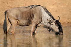 Wildebeest drinking water Royalty Free Stock Image