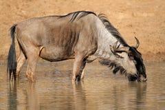 Wildebeest drinking water Royalty Free Stock Image