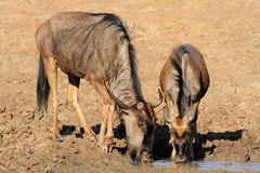 Wildebeest drinking water Royalty Free Stock Photo