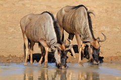 Wildebeest drinking water Royalty Free Stock Photos