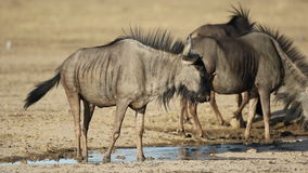 Wildebeest drinking water stock footage