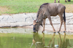 Wildebeest drinking water. Stock Photos