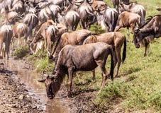 Wildebeest drinking Stock Photos