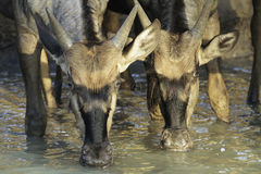 Wildebeest Drinking. Young blue wildebeest taking an early morning drink Stock Photos