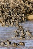 Wildebeest and dust along the Mara river Stock Photography
