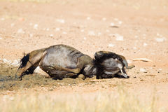 Wildebeest dust bathing Stock Images