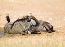 Wildebeest dust bathing Stock Image