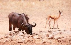 Wildebeest e antilope saltante blu Fotografia Stock