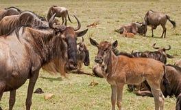 Wildebeest e vitello a Ngorongoro Immagine Stock Libera da Diritti