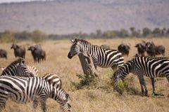 Wildebeest e zebra da migração Fotografia de Stock Royalty Free