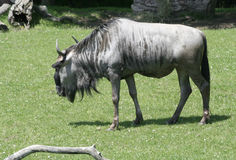 Wildebeest eating grass Royalty Free Stock Images