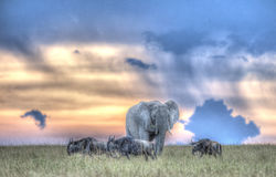 Wildebeest and elephant Royalty Free Stock Photography