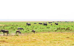 Wildebeest and elephants Stock Image