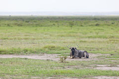 Wildebeest em kenya Imagem de Stock Royalty Free