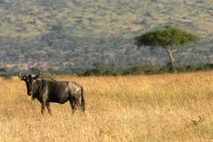Wildebeest em kenya Fotografia de Stock