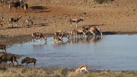 Wildebeest en antilopen bij een waterhole stock videobeelden