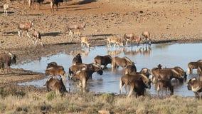 Wildebeest en antilopen bij een waterhole stock video