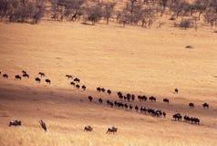 Wildebeest en el Serengeti Fotografía de archivo libre de regalías