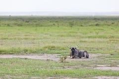 Wildebeest en Kenia Imagen de archivo libre de regalías