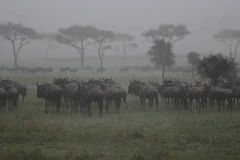 Wildebeest en la lluvia fotografía de archivo libre de regalías