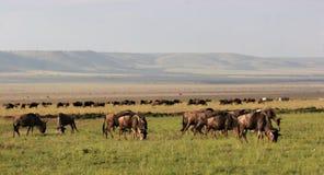 Wildebeest en Masai Mara Imagen de archivo libre de regalías