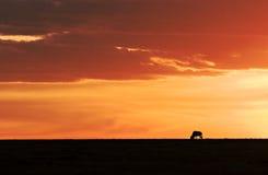 Wildebeest en puesta del sol Fotos de archivo