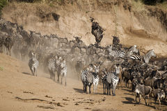 Wildebeest en Zebra langs de Mara rivier, Kenia Stock Afbeelding