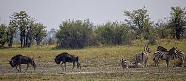 Wildebeest en Zebras Royalty-vrije Stock Fotografie