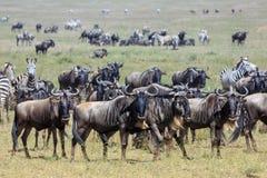 Wildebeest en Zebras in Serengeti tijdens de grote migratie royalty-vrije stock afbeeldingen