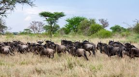Wildebeest escaping from the other chasing wild animals. In savannah, Serengeti National park, Tanzania, Africa royalty free stock images