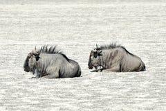 Wildebeest - Etosha, Namibië Stock Afbeeldingen