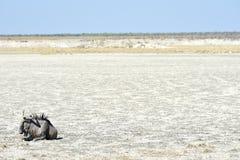 Wildebeest - Etosha, Namibië Stock Foto's