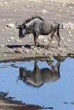Wildebeest - Etosha - Namibia Stock Image
