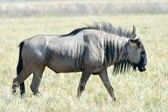 Wildebeest in Etosha National Park. Wildebeest on the plains, Etosha National Park, Namibia Stock Image