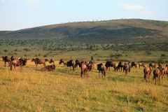 Wildebeest in evening red Stock Photos