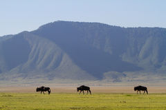 Wildebeest family Stock Photos