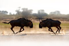Free Wildebeest Fight. Blue Wildebeest, Connochaetes Taurinus, On The Meadow, Big Animal In The Nature Habitat In Botswana, Africa Stock Images - 176063144
