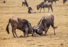 Wildebeest fight Royalty Free Stock Image