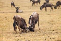 Wildebeest fight Stock Photo