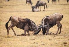 Wildebeest fight Stock Photos